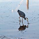 White Faced Heron, Fingal, #4 by Odille Esmonde-Morgan