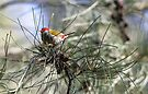 Red-Browed Finch by yolanda