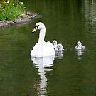 Mute swan & cygnets by Meladana