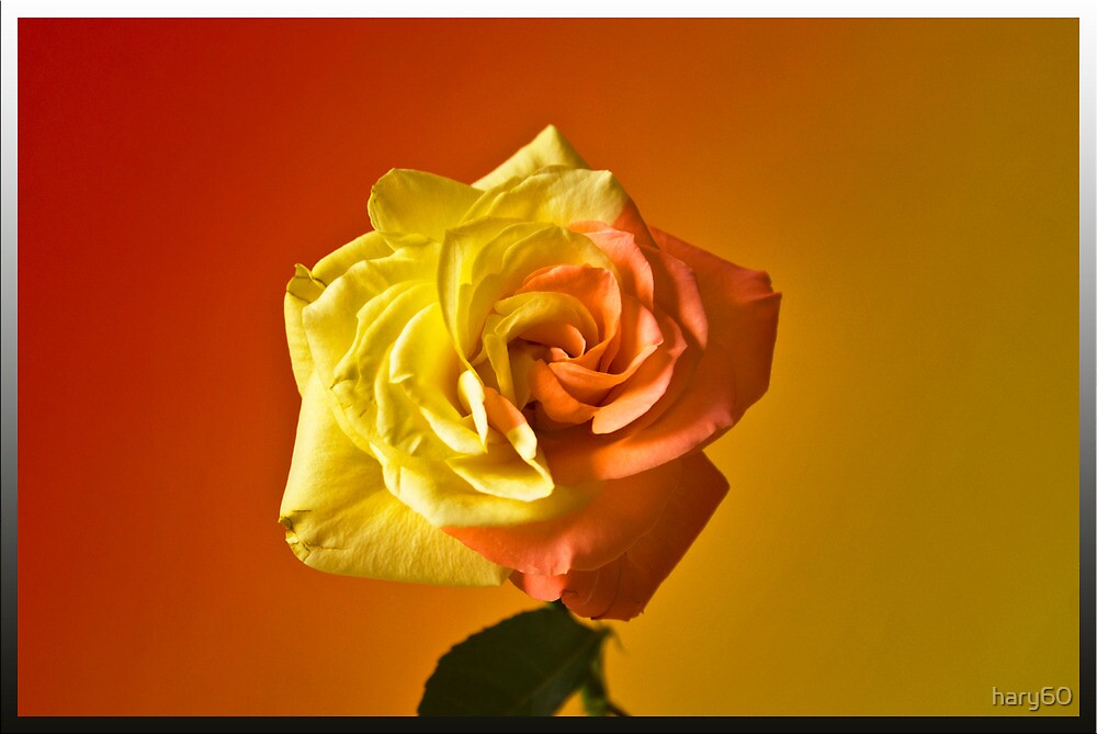 Two Tone Rose by hary60