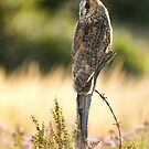 Evening Owl by Val Saxby