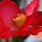 Red Poppy by Lozzar Flowers & Art