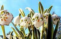 Hear the Bells? (Leucojum vernum) by globeboater