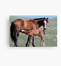 Stallion Colt Nurses Canvas Print