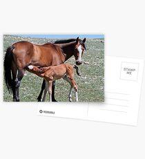 Stallion Colt Nurses Postcards