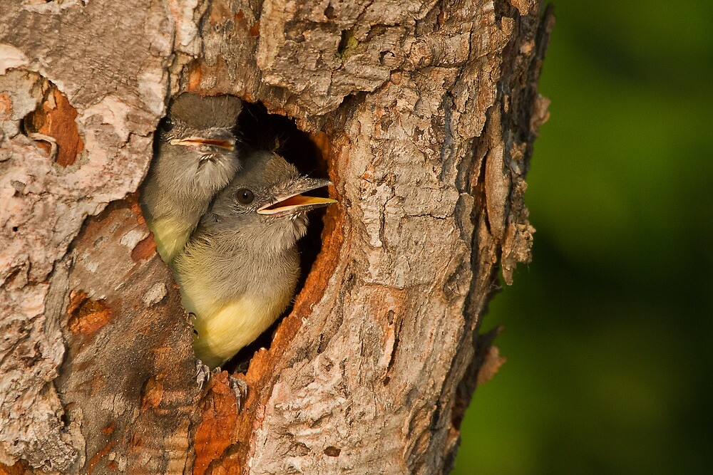 Baby Great Crested Flycatchers make a cameo appearance. by Daniel Cadieux