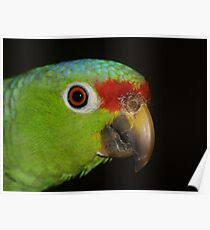 Parrot as seen in the Hotel Paraiso Carlisa, La Gloria de Puriscal, Costa Rica Poster