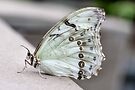 White Morpho by PhotosByHealy