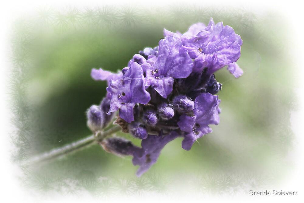 Lavender by Brenda Boisvert