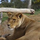 'I WONDER WHAT WE'LL HAVE FOR DINNER TONIGHT!' Lioness by Rita Blom