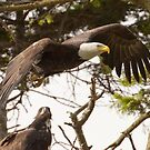Baby Eagle Watches Mom Leave the Nest by David Friederich