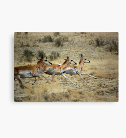 Antelope Wild and Free ~ Sierra Co, New Mexico Canvas Print
