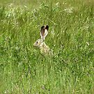 Big Ears In The Grass - Black-Tailed Jack Rabbit, Sacramento County, CA by Rebel Kreklow