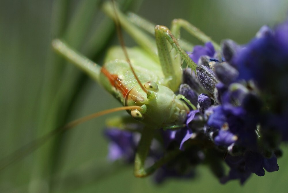 Grasshopper Portrait by marens