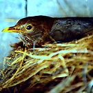 Nesting Blackbird by Alan Mattison