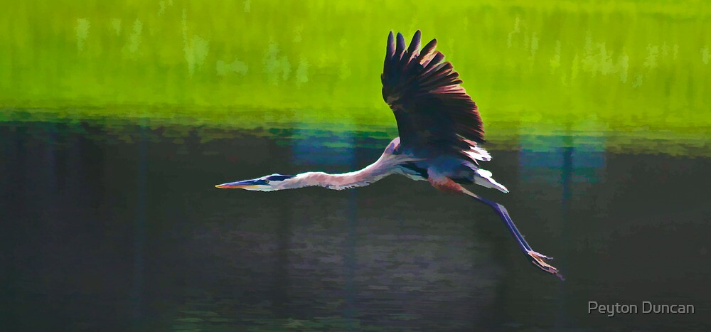 Heron in Flight by Peyton Duncan