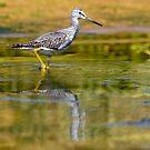 Greater Yellowlegs by Randall Ingalls