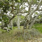 Old Oak Growth at Ft. Ord 2 by Sandra Gray
