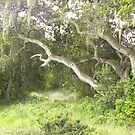 Old Oak Growth at Ft. Ord by Sandra Gray