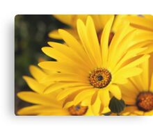 Quot Geel Namakwaland Madeliefie African Daisy Quot By Rina