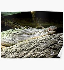 Philippine Crocodile (Crocodylus mindorensis) Poster