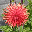 Large Dahlia by Barry Norton