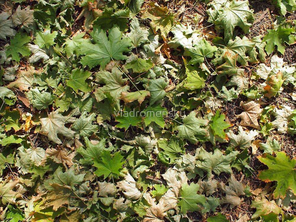 Top view of the green fallen maple leaves closeup by vladromensky