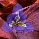 Iris Unguicularis by Dale Lockridge