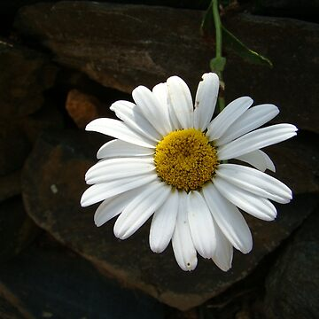 White Daisy~ by virginian