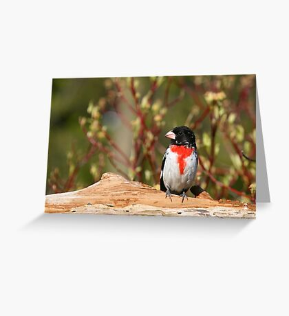 Rose-breasted Grosbeak (male) Greeting Card