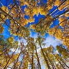Colorful Aspen Forest Canopy by Bo Insogna