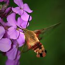 Clearwing Hummingbird Moth II by Renee Dawson