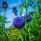 Pom Pom flowers by DeePhoto