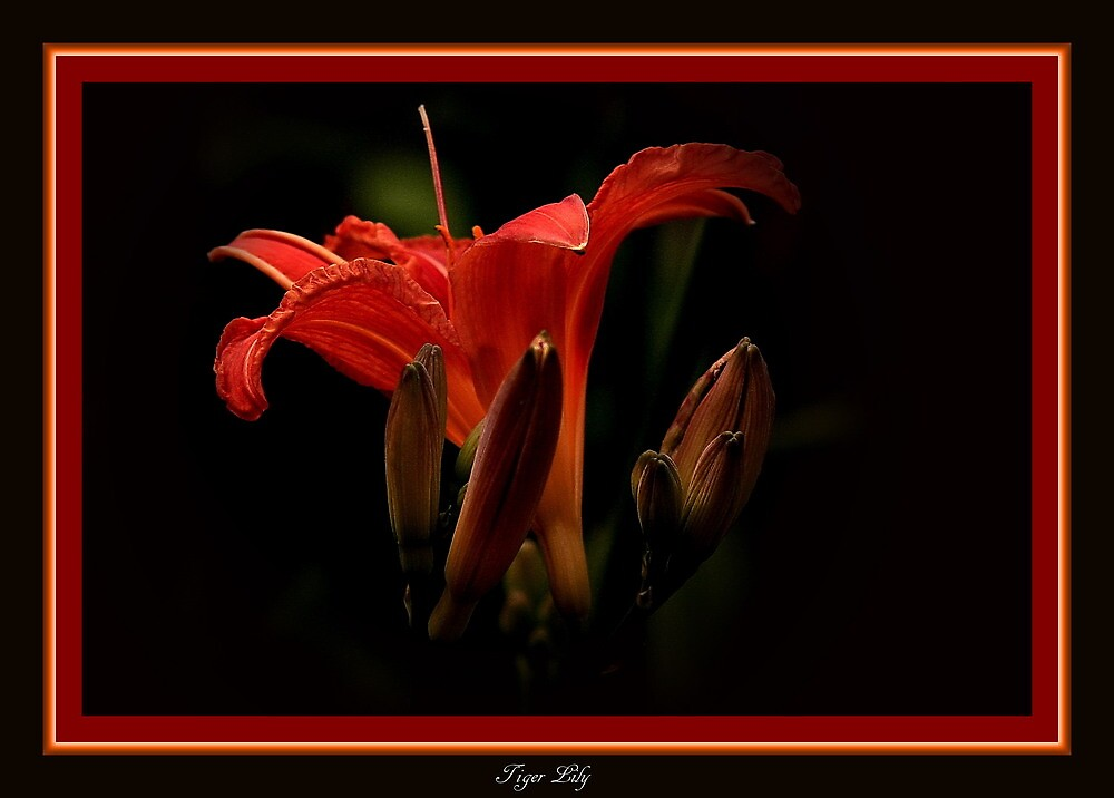 The Tiger Lily by snapdecisions