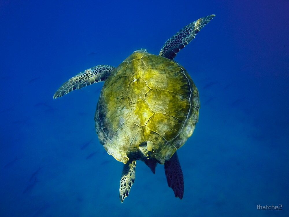 Green Sea Turtle into the Blue by thatche2