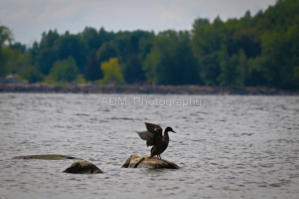 Duck on a rock by Amber D Hathaway Photography
