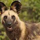 The Painted Dogs of Africa by Bertspix1