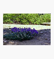 """""""Lupine Round-a-Bout"""" Photographic Print"""