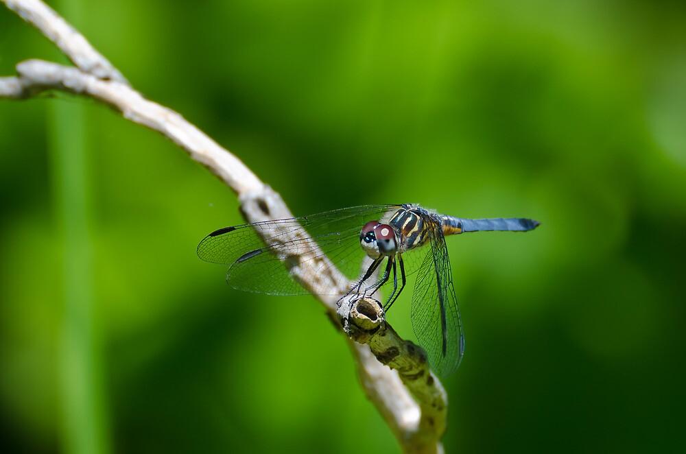 Male Blue Dasher Dragonfly by Steve Borichevsky