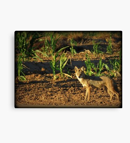 Sunrise Coyote Canvas Print