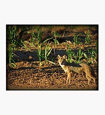 Sunrise Coyote Photographic Print