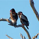 IN THE EARLY MORNING SUN - The Bateleur Eagle's - Terathopius ecaudatus by Magriet Meintjes
