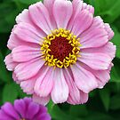Pink Zinnia by Kent Nickell