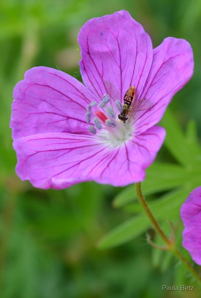 Wild Geranium with little bug by Paula Betz