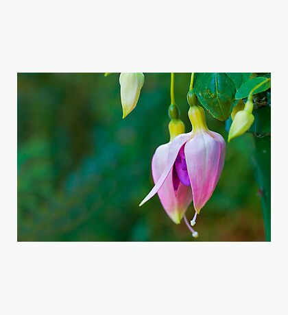 Fuchsia Buds Photographic Print