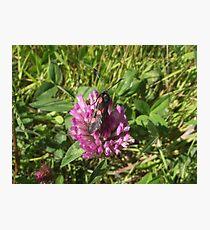 Burnet moth. Photographic Print
