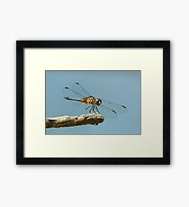 Blue Dasher on a Sunny Day Framed Print
