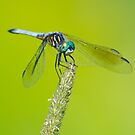 Blue Dasher on Timothy by Steve Borichevsky