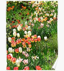 Candybox Tulips Poster