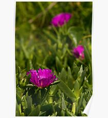 Dune flower Sunrise Beach Poster